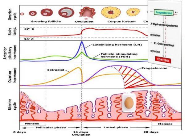 Female Hormone Cycle